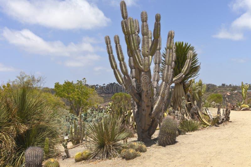 Cactus nel parco San Diego California della balboa. fotografie stock libere da diritti