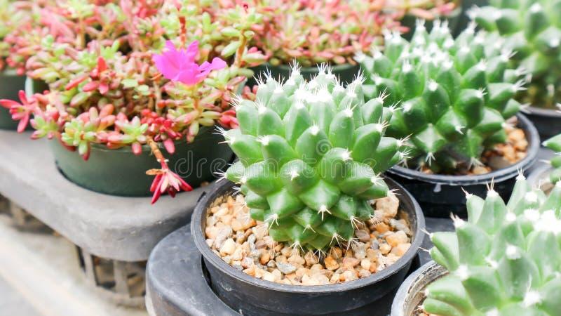 Cactus nel vaso da fiori fotografie stock