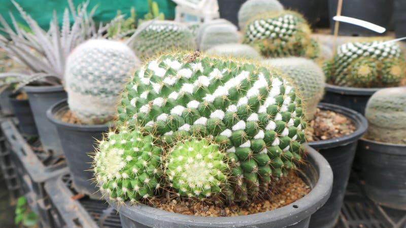 Cactus nel vaso da fiori immagine stock libera da diritti