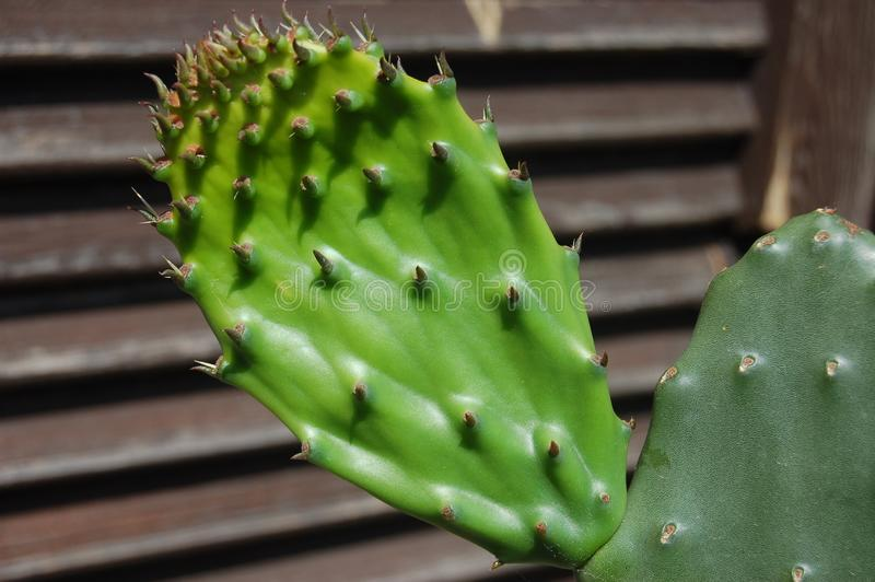 Cactus, Nopal, Eastern Prickly Pear, Thorns Spines And Prickles stock photography