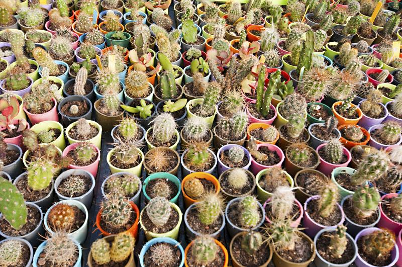 Cactus nursery - many small flowers stock photo