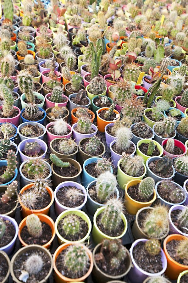 Cactus nursery - many small flowers stock image