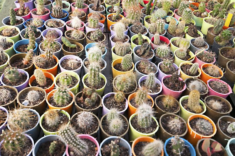 Cactus nursery - many small flowers royalty free stock images