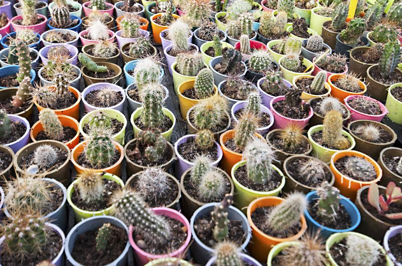 Cactus nursery - many small flowers royalty free stock photos