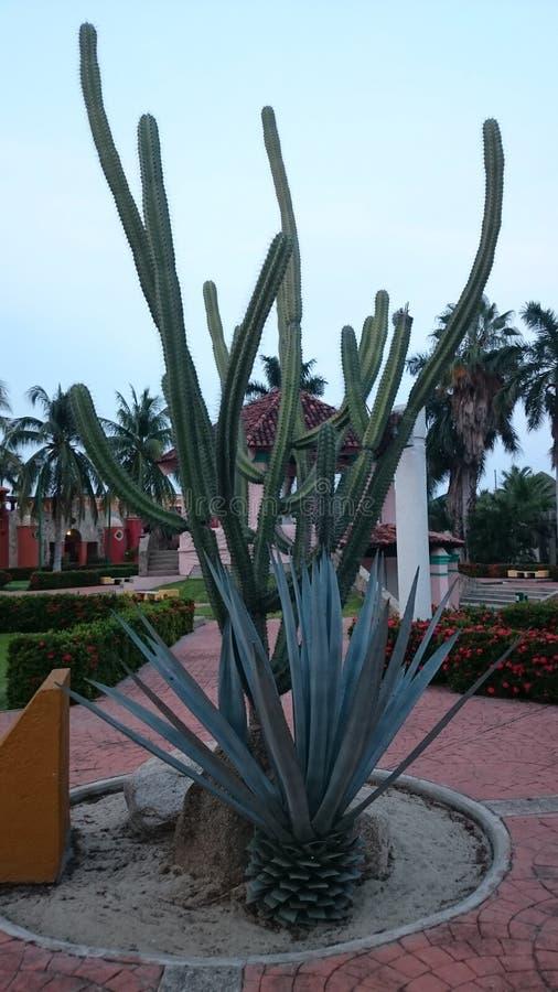 Cactus in oaxaca. Garden in huatulco royalty free stock images