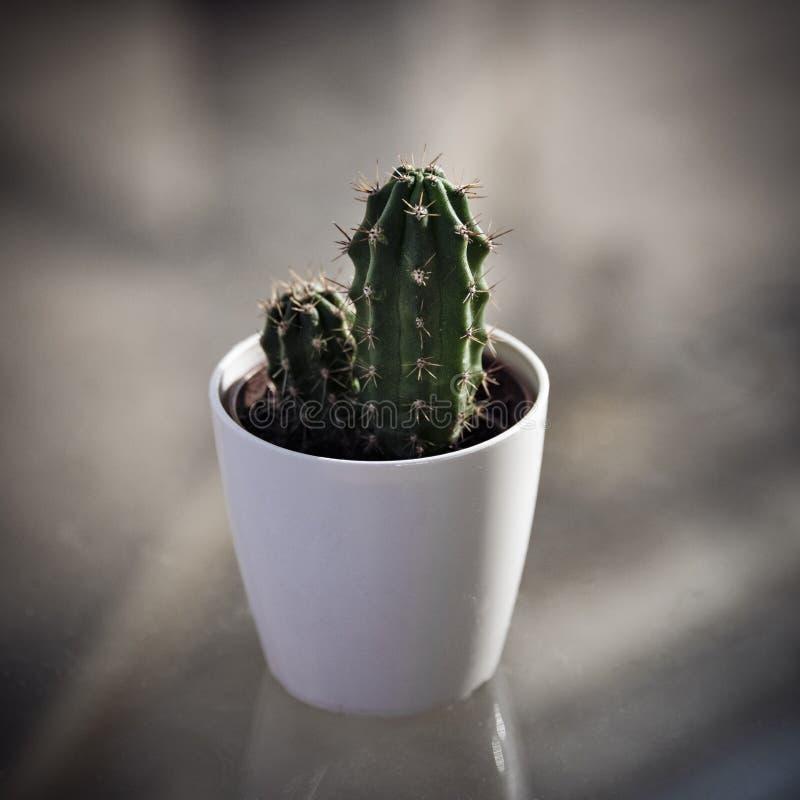 Cactus op de lijst stock afbeelding