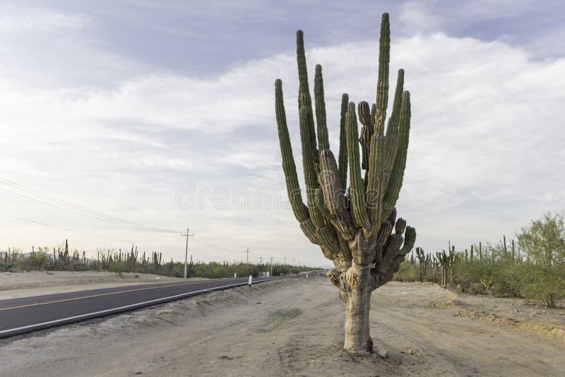 Cactus op de weg stock foto's