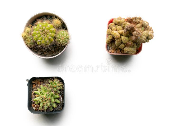 Cactus op de witte achtergrond stock afbeelding