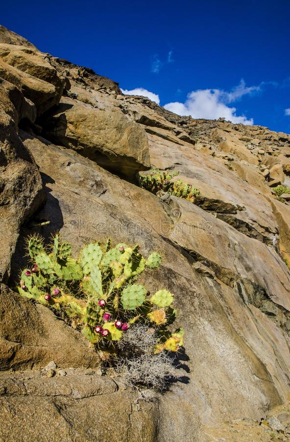 Cactus op een rotsachtige muur in fuerteventura stock afbeeldingen