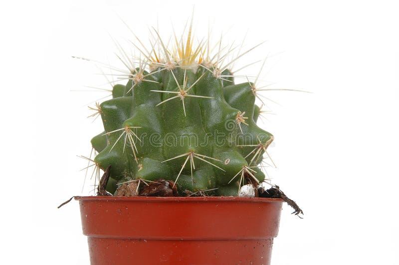 Cactus op pot royalty-vrije stock afbeelding