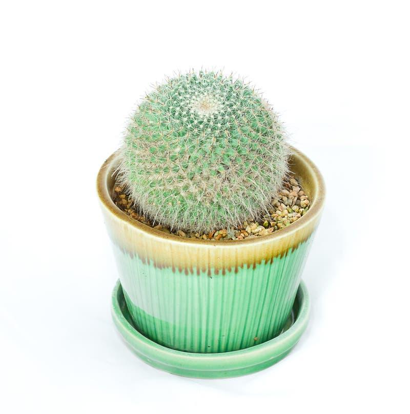 Cactus op witte achtergrond stock afbeeldingen