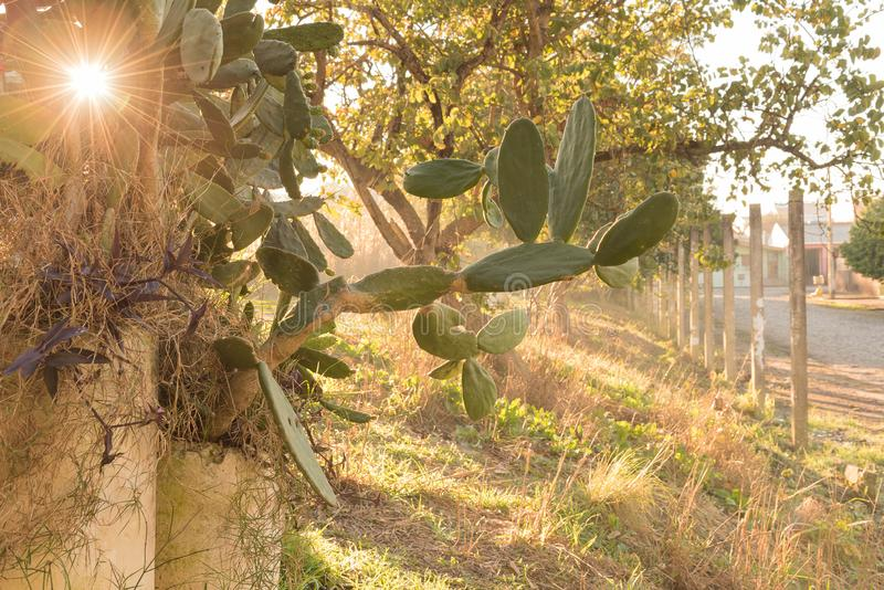 Flowering of Cactus Opuntia in winter morning 05 royalty free stock image