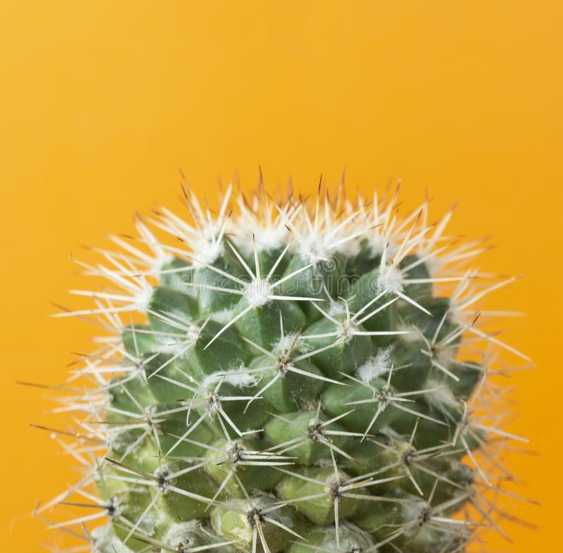 Cactus on Orange background with Copy space for a text ,Front view stock photo