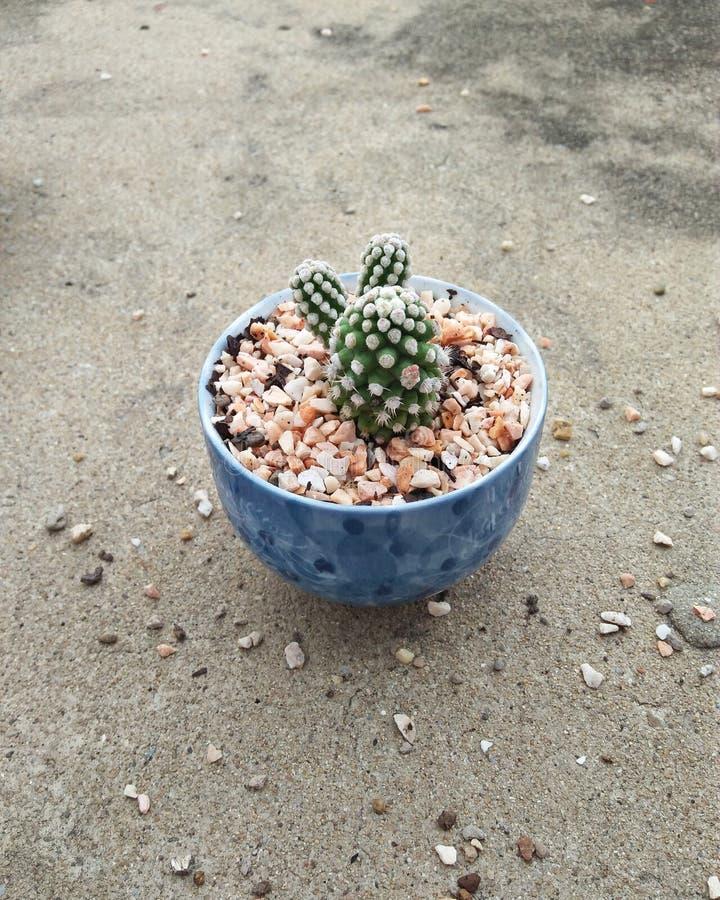 Cactus Oruga in colpo fotografia stock