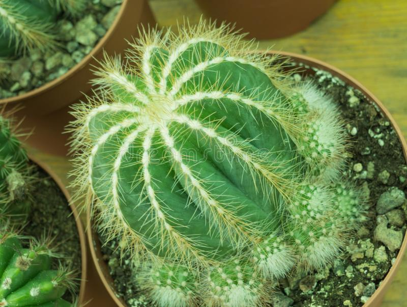 Cactus parodia magnifica potted indoors royalty free stock photo