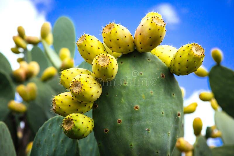 Cactus Pear Fico d'India. A close-up of a cactus pear fico d'India from Sicily royalty free stock photos