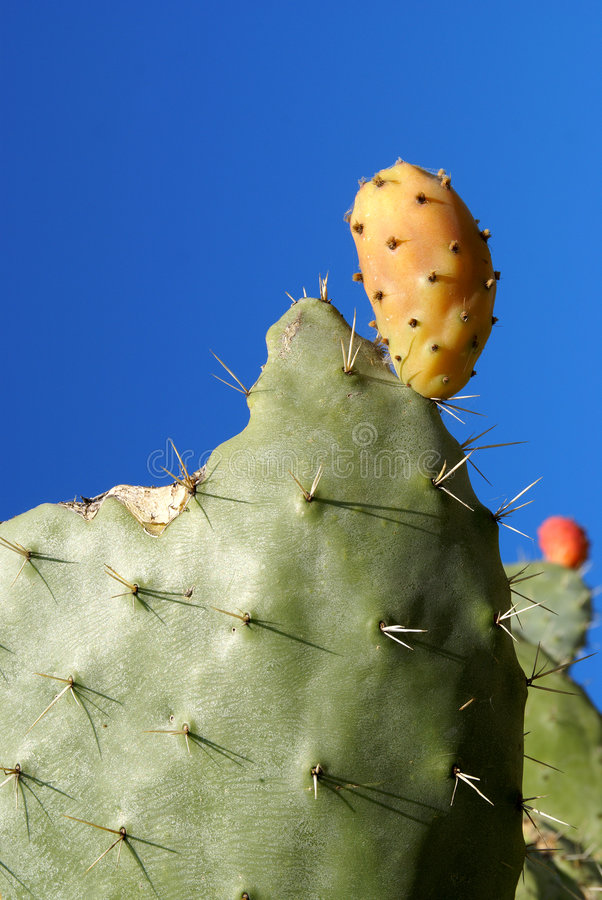 Download Cactus pear of sardinia stock image. Image of thorn, desert - 8637665