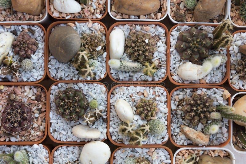 Cactus piantato in vasi immagini stock libere da diritti