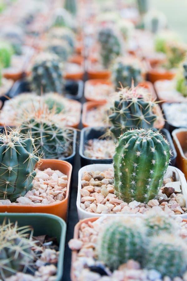Cactus piantato in vasi - effetto di colore immagine stock