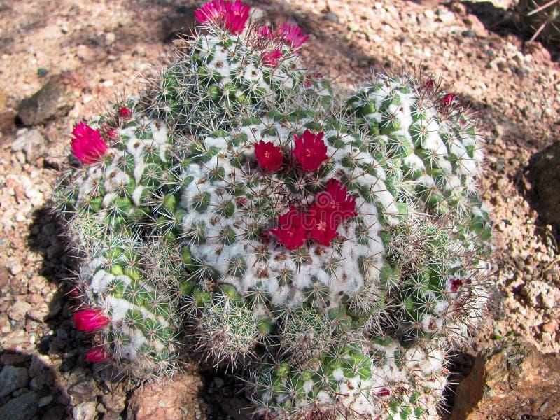 Cactus in piena fioritura fotografia stock libera da diritti