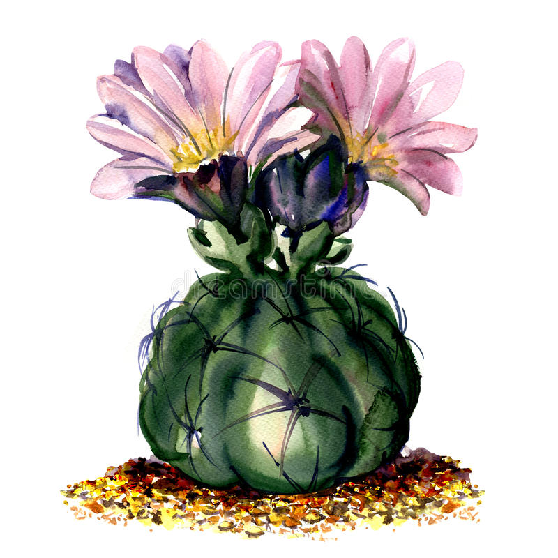 Cactus with pink flowers isolated, watercolor illustration on white vector illustration