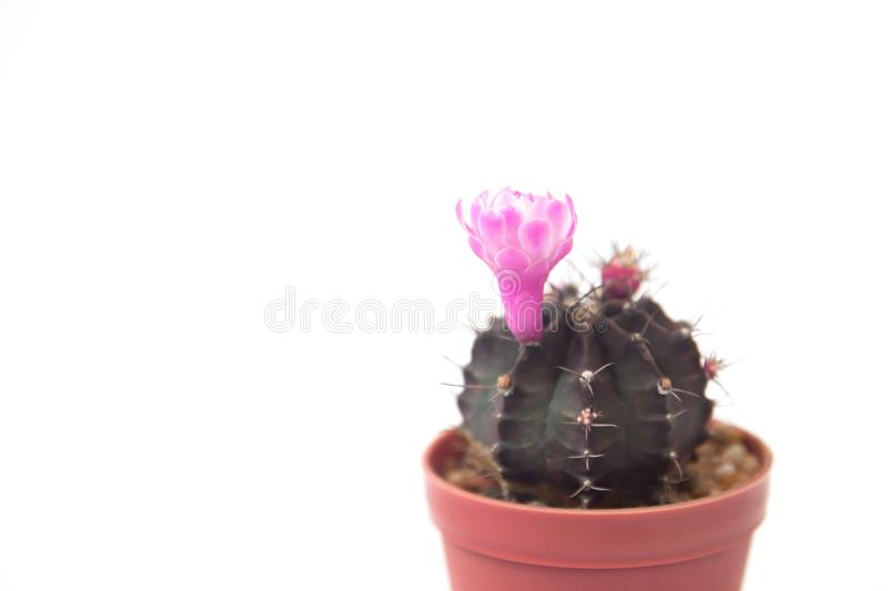 Cactus plant with blooming pink flower on white background stock image
