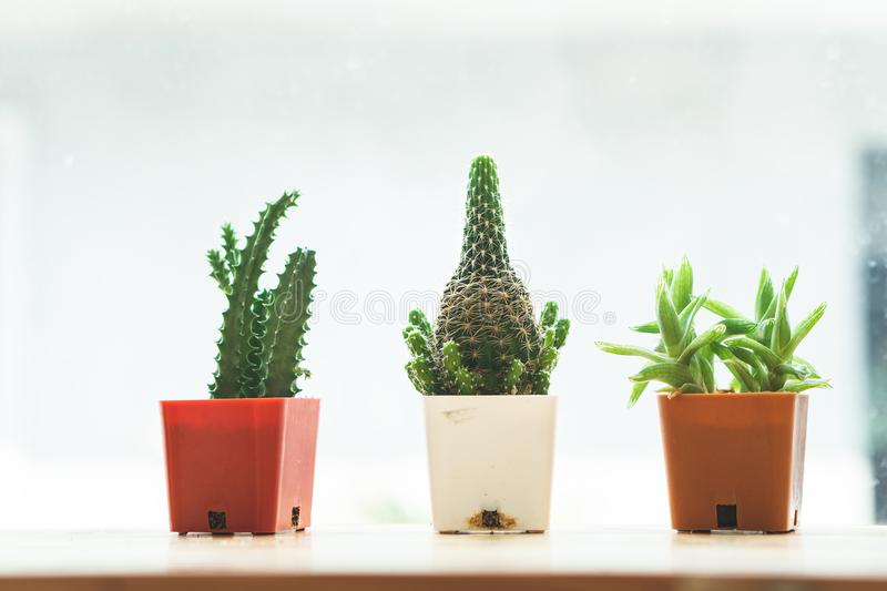 The cactus plant is decorated at the edge. stock photo