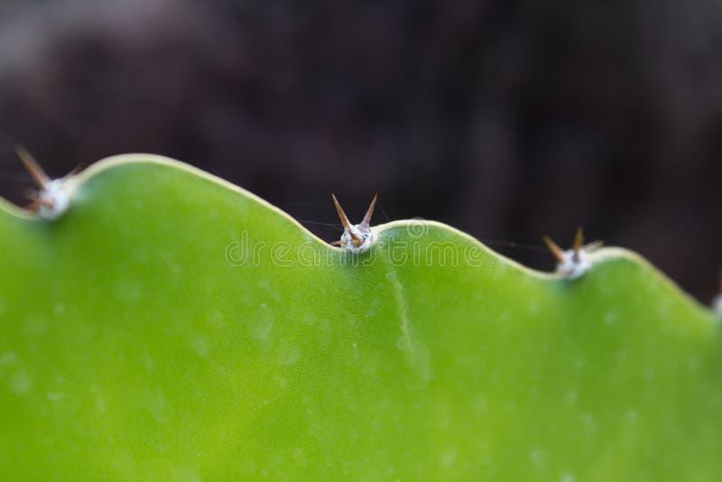 Cactus plant detail - green catus macro royalty free stock photos