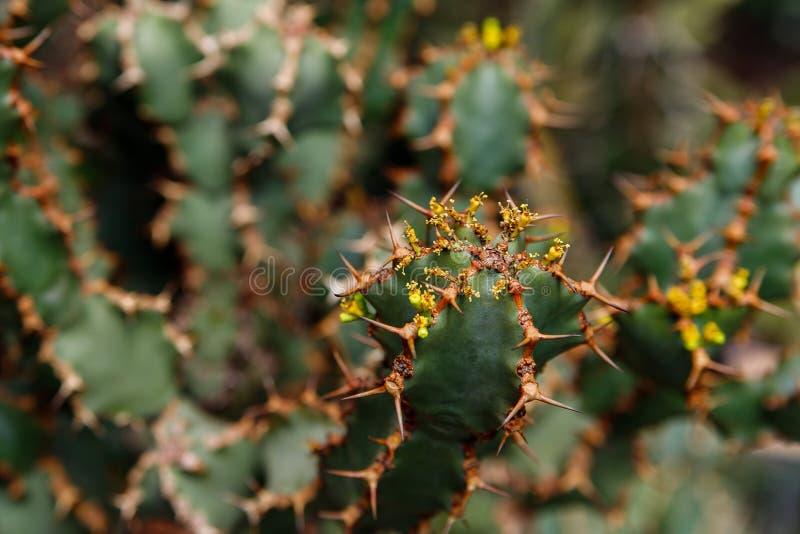 Cactus plant, Euphorbia ingens, Euphorbia candelabrum plant. Cactus, Euphorbia ingens, Euphorbia candelabrum. Abstract image Close-up royalty free stock image