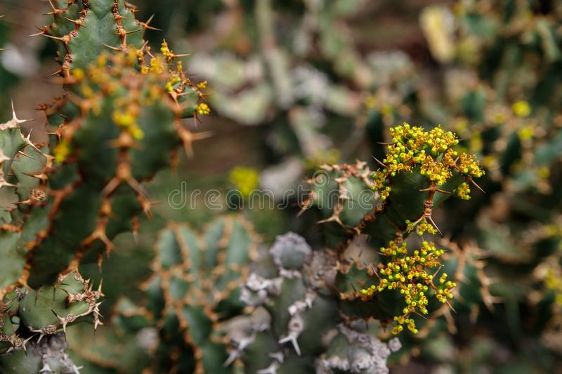Cactus plant, Euphorbia ingens, Euphorbia candelabrum plant. Cactus, Euphorbia ingens, Euphorbia candelabrum. Abstract image Close-up stock images
