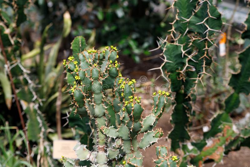 Cactus plant, Euphorbia ingens, Euphorbia candelabrum plant. Cactus, Euphorbia ingens, Euphorbia candelabrum. Abstract image Close-up royalty free stock photos