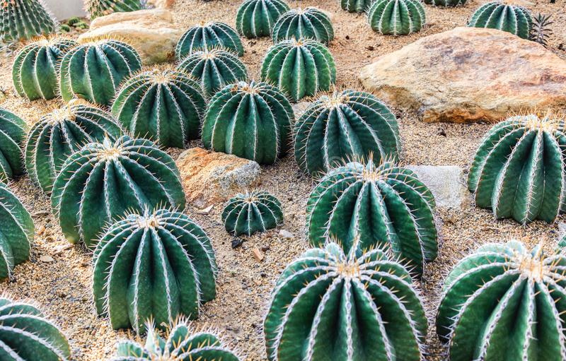 Cactus is a plant and grow in desert because it is resistant to stock photo