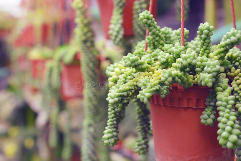Cactus. Plant growing in flowerpot stock image