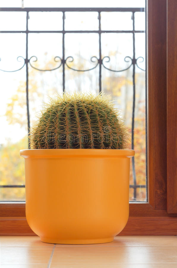 Cactus plant in the house. Cactus plant in home near window royalty free stock photography
