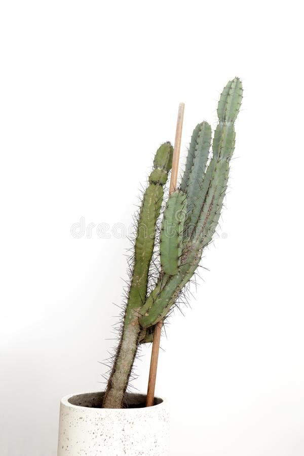 Cactus plant in a pot on a white background stock photos