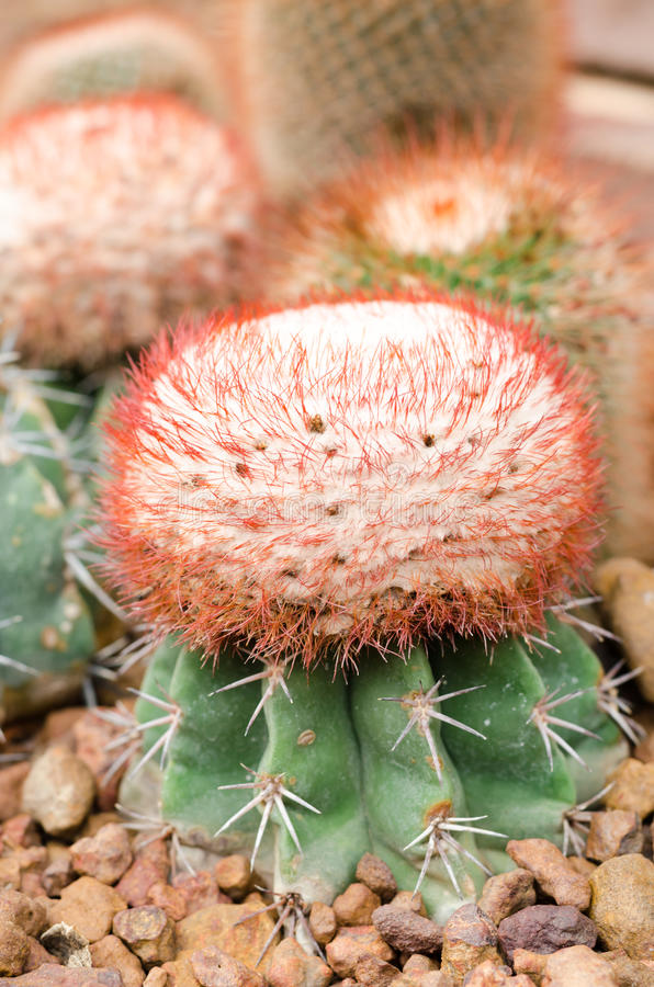 Cactus plant. On scree at greenhouse royalty free stock photos