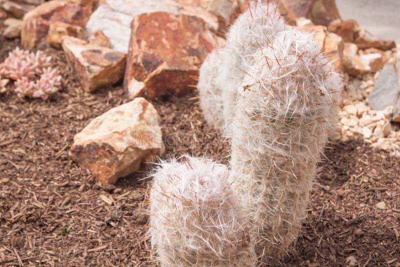 Cactus Plant with White Fiber. Closeup Cactus Plant with lots of white fiber and thorn royalty free stock photo