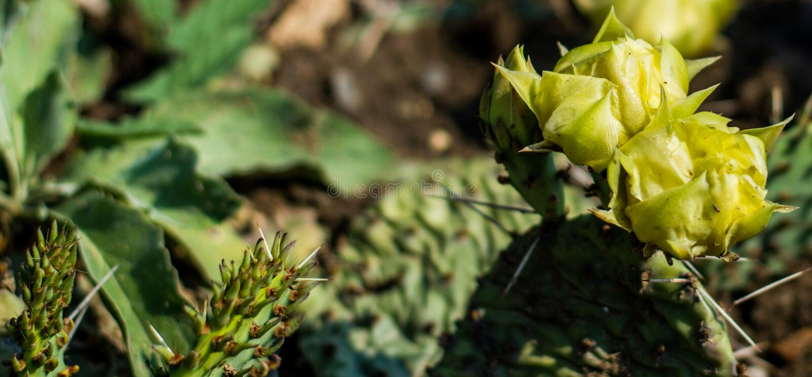 Cactus plant. Yellow cactus flower close up royalty free stock images