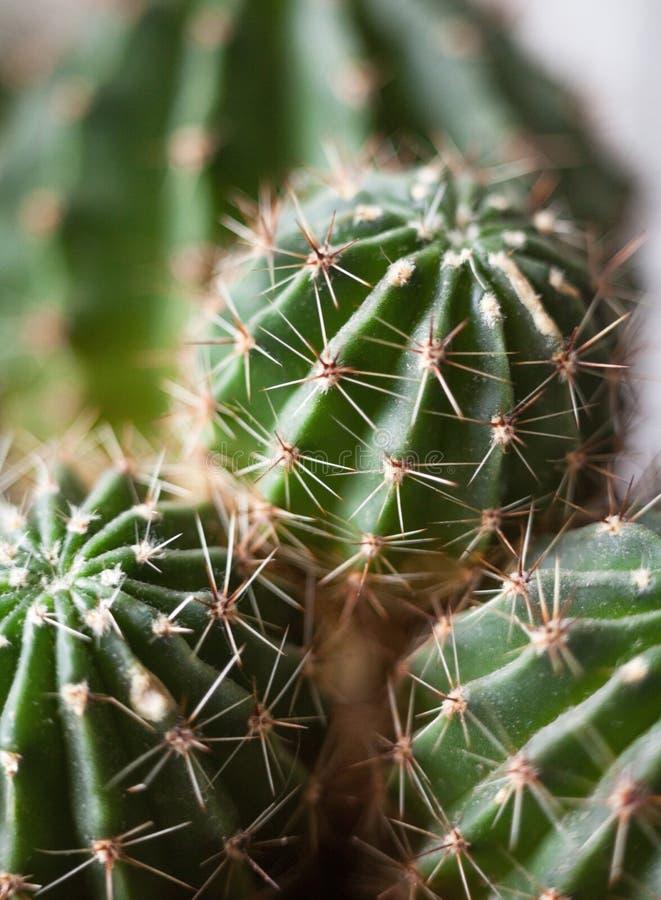 Cactus Planta suculenta fotos de archivo libres de regalías