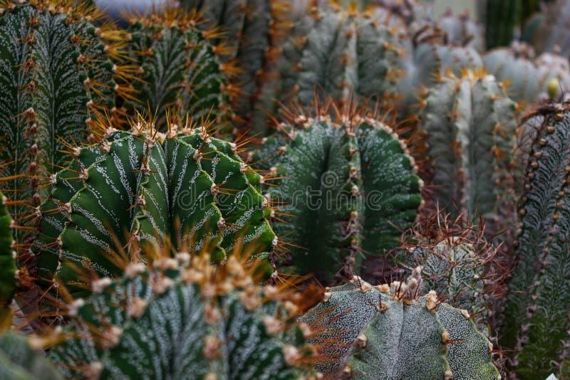 Cactus plants or Astrophytum asterias is a species of cactus plant in the genus Astrophytum at cactus farm. Nature Green Cactus stock photos