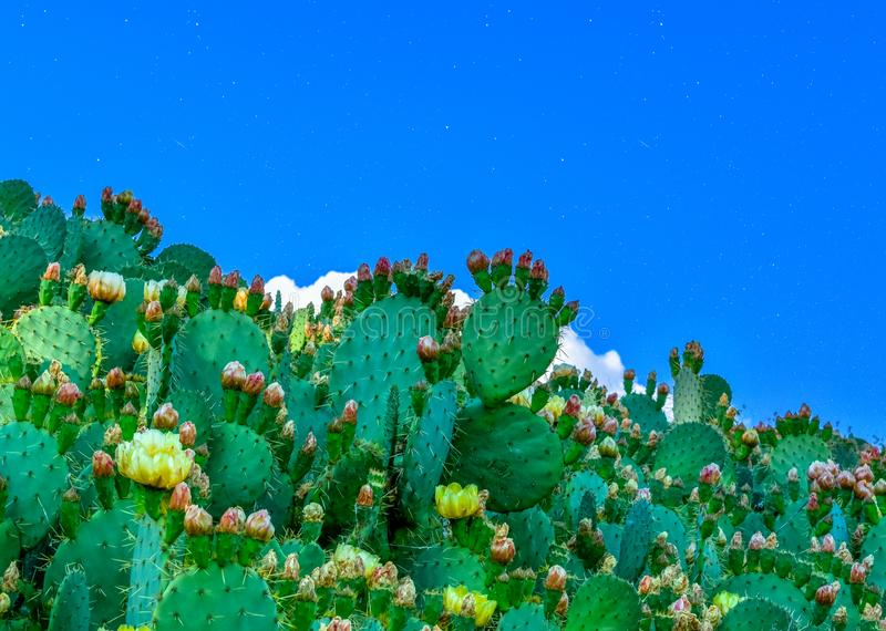 Cactus plants in a blue starry sky stock photo