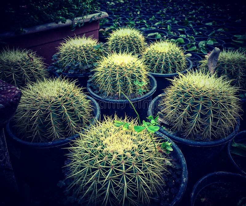 Cactus plants in pots stock image