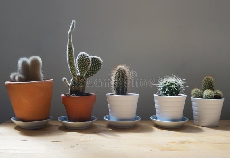 Cactus plants in pots stock photography