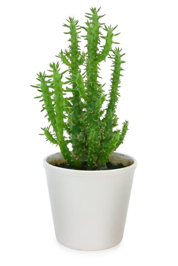 Cactus in pot stock foto's