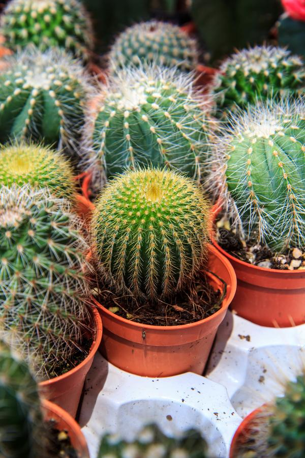 Cactus color green royalty free stock image