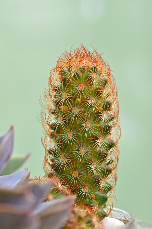 Cactus on pot royalty free stock images