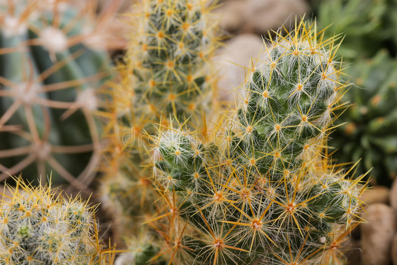 Cactus in the pot. Desert plant royalty free stock photography