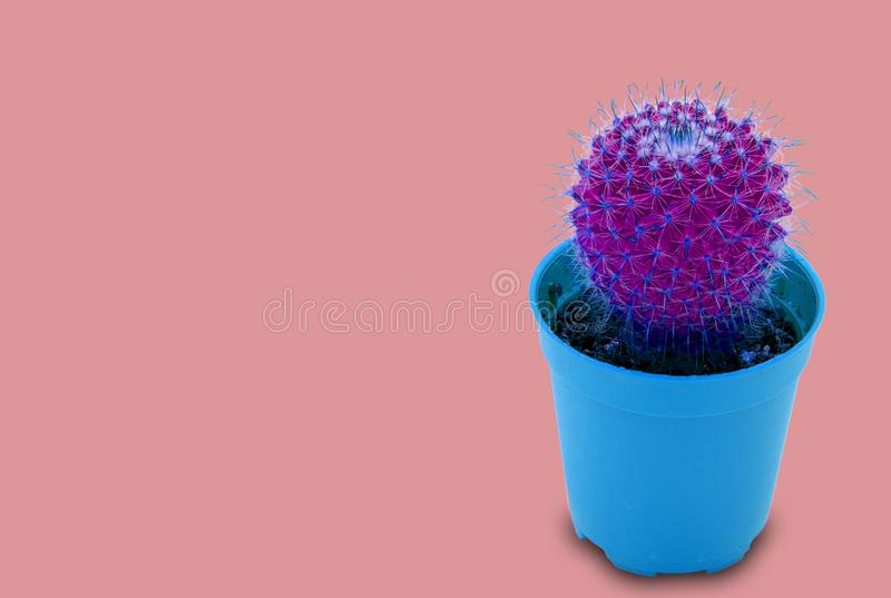 Cactus in pot neon light trendy style above pastel background. And copy space tropical desert flower green leaf texture with a beautiful pattern of thorns for stock image