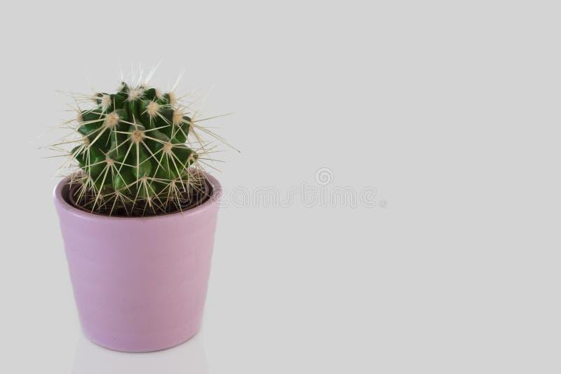 Cactus in the pot stock photos