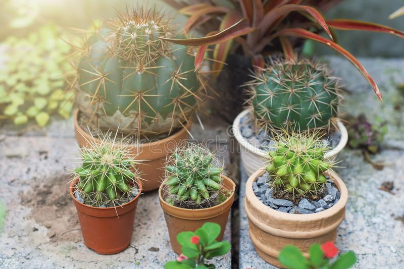 cactus on pots stock photography